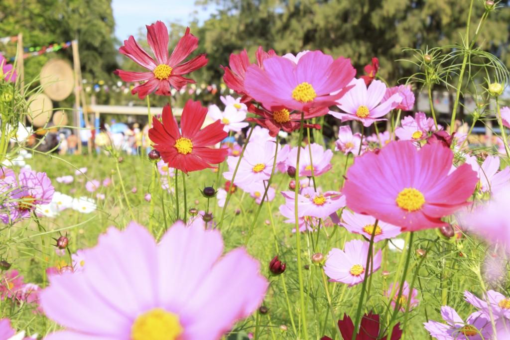 korat-flower-jim-thomson